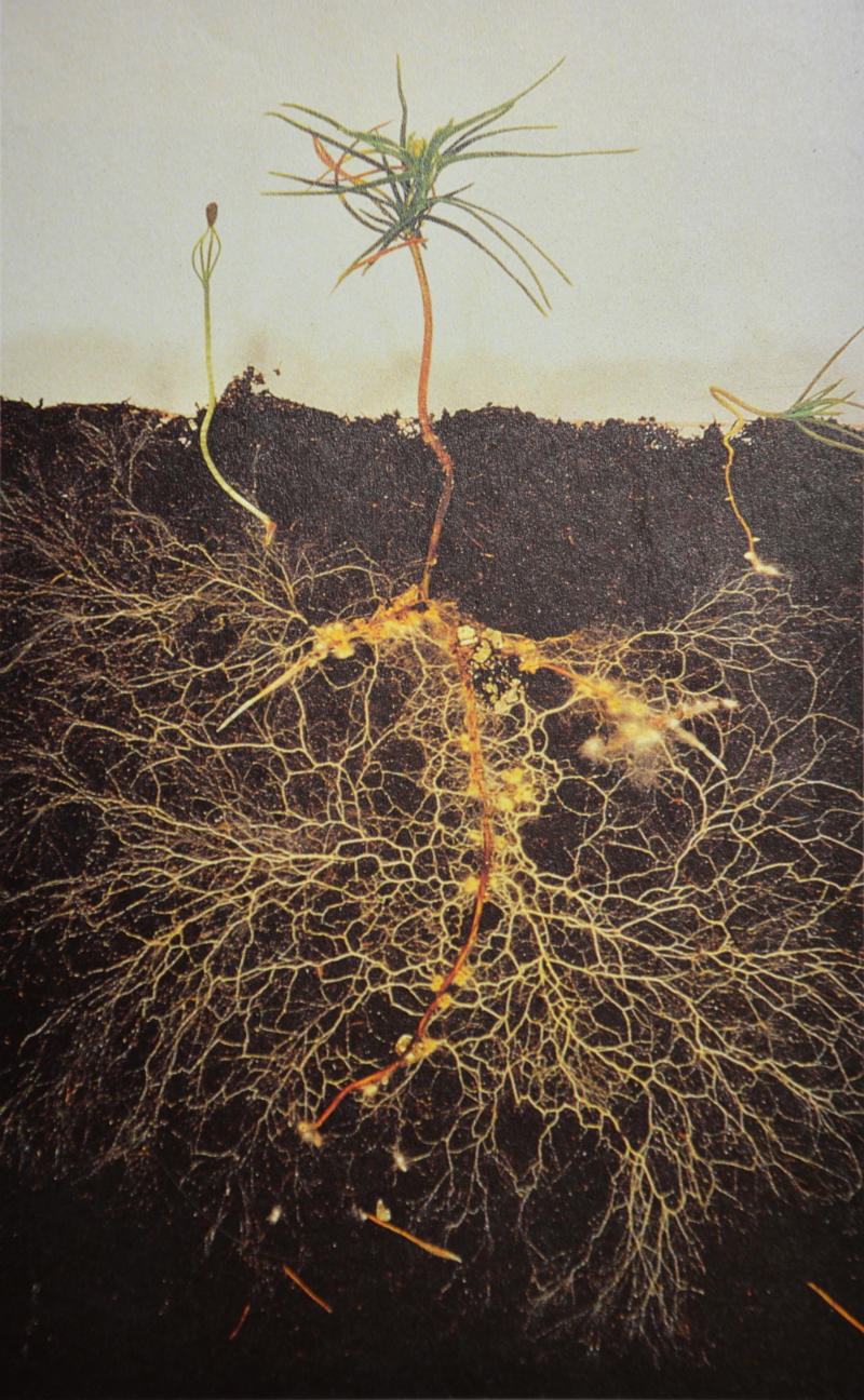 Mycorrhizal Symbiosis, Feral Practice research image, mycelium around the roots of a pine seedling. Photo by Professor David Read